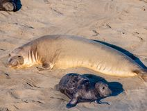 Elephant Seal Mother and Pup stock images