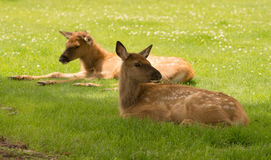 Newborn Elk Fawn Calf Yearling Wild Animal Wildlife Royalty Free Stock Photo