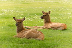 Newborn Elk Fawn Calf Yearling Wild Animal Wildlife Royalty Free Stock Image