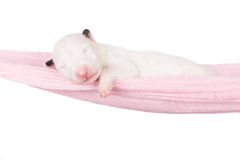 Newborn english bull terrier puppy in a hammock Royalty Free Stock Photography