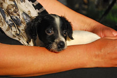 Newborn English setter puppy Stock Photos