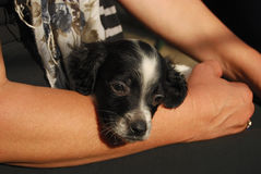 Newborn English setter puppy Stock Images