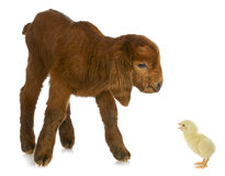 Newborn farm animals Stock Photos