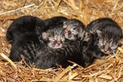 Newborn farm kittens Stock Photo