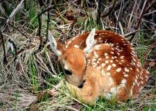 Newborn Fawn Stock Image