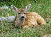 Newborn Fawn Stock Photography