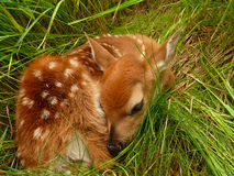 Newborn fawn Stock Photo