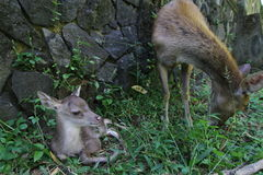 Newborn fawn and doe Stock Images