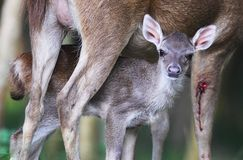 Newborn fawn and doe Royalty Free Stock Image