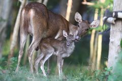 Newborn fawn and doe Stock Image