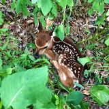 Newborn fawn hiding in the underbrush. royalty free stock image