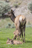 Newborn fawn just orb with afterbirth from mother Stock Image