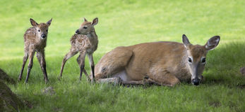 Newborn fawns Stock Image