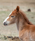 A newborn foal Royalty Free Stock Photos