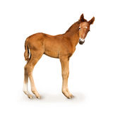 Newborn foal. (only 4 days Stock Image