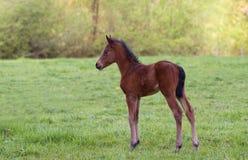 Newborn Foal Stock Image