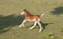 Newborn foal Royalty Free Stock Photos