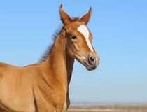 Newborn foal - only 5 days. Sorrel foal on background of blue sky Stock Photo