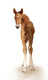 Newborn foal Stock Images