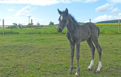 Newborn foal Royalty Free Stock Photography