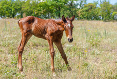 Newborn foal doing first steps Royalty Free Stock Photography