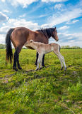 Newborn foal drinking milk from its mother horse Stock Photos