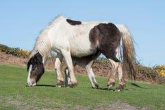 Newborn foal feeding Royalty Free Stock Photos