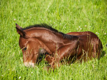 Newborn foal lying on meadow Royalty Free Stock Photography