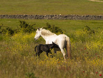 Newborn foal Stock Photography