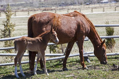 Mare and newborn foal colt in corral Stock Photos