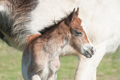 Newborn foal portrait Stock Image