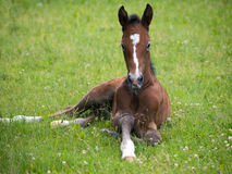 Newborn foal resting on medow Royalty Free Stock Photo