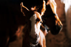 Newborn foal in the stable Stock Image