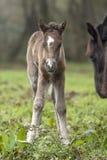 Newborn foal posing in a field stock images