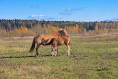 Newborn foal suckling Stock Photo