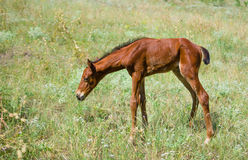 Newborn foal on a summer pasture Royalty Free Stock Photos