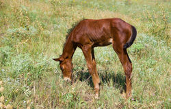 Newborn foal on a summer pasture Royalty Free Stock Images