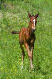 Newborn foal on a summer pasture Royalty Free Stock Photography