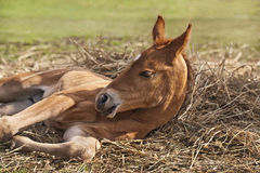 Newborn foal Royalty Free Stock Images