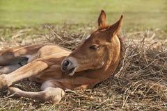 Newborn foal. (1 week) on hay Royalty Free Stock Images