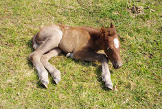 Newborn foal with white spot on the forehead Stock Photography