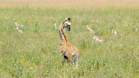 Newborn giraffe looking at gazelles Stock Images