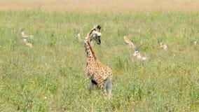 Newborn giraffe looking at gazelles Stock Images