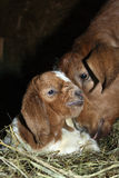 Newborn goat. Young African Boer Goat kid with his mom Royalty Free Stock Images