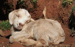 Newborn Goat Royalty Free Stock Photography