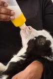 Newborn goat drinking milk stock images