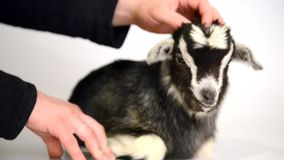 Newborn goat and human hands stock footage