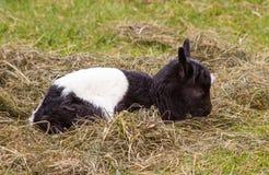 Newborn Goat Royalty Free Stock Photography