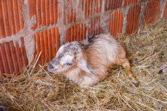 Newborn goat. Lying on the straw wet Royalty Free Stock Photography