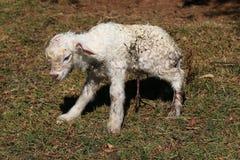 Newborn Goat Stock Images
